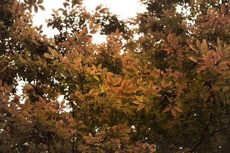 autumn leafs: Autumn Leafs closeup