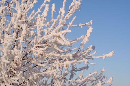 照らす: 優雅なロシア語オリーブの枝、遅い午後の太陽にキス輝き & 冬霜の輝くそのコートに輝きます。 写真素材