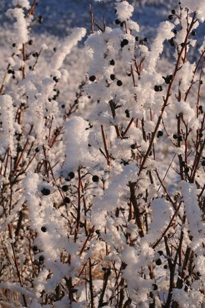 Cotoneaster hedge, kissed by the late afternoon sun, sparkles & shines in it's shimmering coat of frost. Stock Photo - 297846
