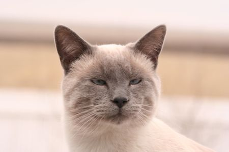 huh: Huh?  Slightly cross-eyed, liliac-point Siamese kitten looking kind of dopey.