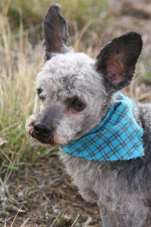 groomed: Freshly groomed male terri-poo. Terrier & miniature poodle cross.