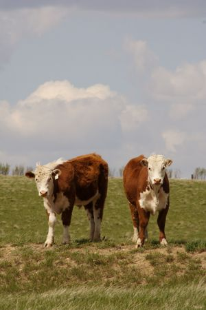 hereford: Two Hereford yearling cows standing on a grassy hill.