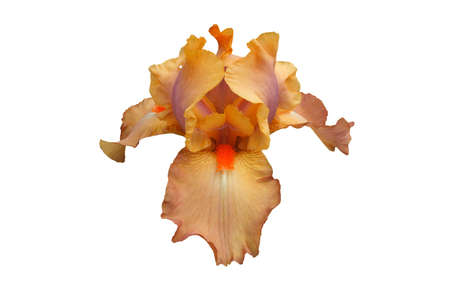 bloomer: Isolated hybrid tall bearded iris:  Cameo Concert.  Hybridized by Black, 1985.  A coral, tan, & violet mid-spring bloomer prized by collectors for its exotic coloring. Stock Photo