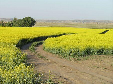 A winding trail through a beautiful yellow prairie canola field in full bloom. photo
