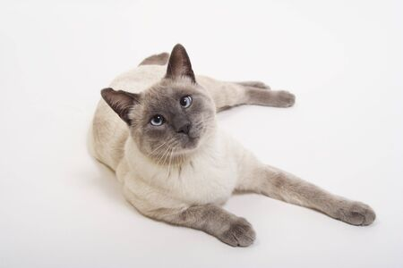 Purebred Lilac-Point Siamese with slightly crossed blue eyes.