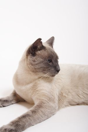 A purebred, male, lilac-point siamese cat with notched ear & slightly crossed blue eyes. photo