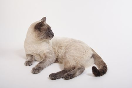 A lilac-point siamese sprawls out on the studio floor and then ignores the camera while twitching his tail. photo