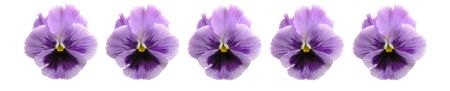 pansy: A row of isolated lavender pansies.  Used to seperate web pages, paragraphs, topics, or as a header, divider line. Stock Photo