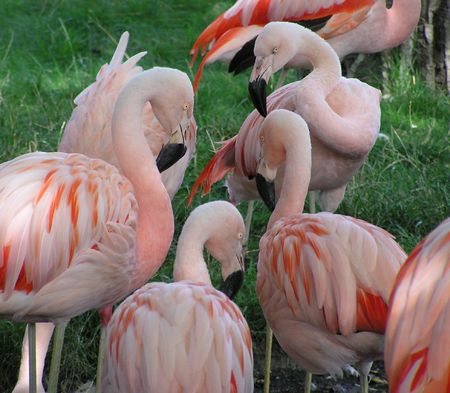 group discussion: A flock of flamingos stand with their heads together as if having a group discussion.