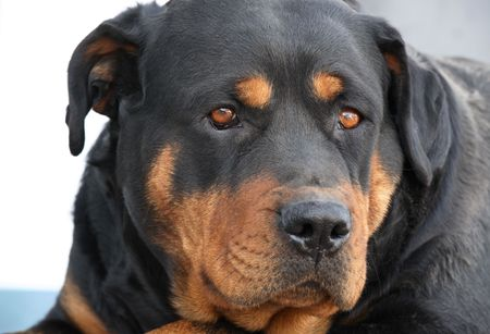 come home: Portrait of a 3-year old purebred rottweiler waiting for her Dad to come home. Stock Photo