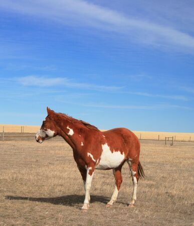 windswept: A poor pinto pony stands in her barren, windswept, prairie pasture and wishes for greener pastures.