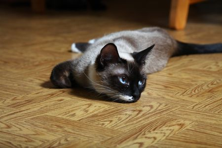 snowshoe: Young female Snowshoe Lynx Point Siamese laying on diningroom floor.  Beautiful and rare Siamese breed. Stock Photo