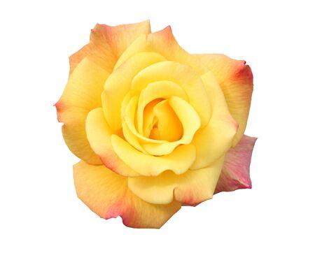 Hybrid tea rose:  Rio Samba.  Hybridized by Warriner 1991.  Freshly opened. Isolated.