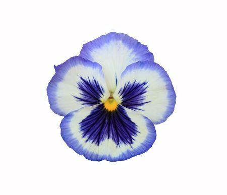 Hybrid Pansy:  Blue Frost.   White with blue face and edge.  Isolated on white.