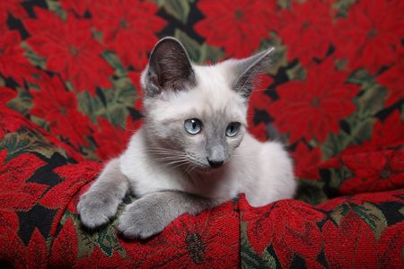 Small, purebred, lilac point siamese kitten on red poinsettia tapestry chair.