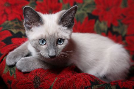 Sweet and innocent, lilac point Siamese kitten on red poinsettia tapestry chair. Stock Photo