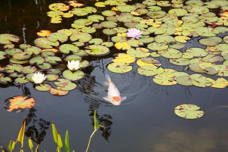 koi: A large koi swimming just below the surface of a lily pad covered fish pond.