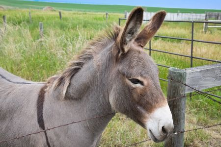 jenny: Dolly the donkey looking over the fence.  Female, known as a jenny.