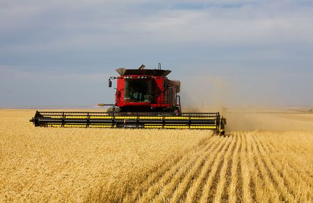 combining: A farmer combining his field of wheat.