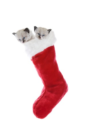 Two purebred, Snowshoe Lynx-point Siamese kittens in a Christmas stocking. photo