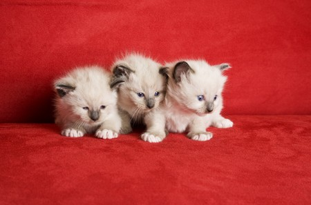 Three little kittens in a row.  Snowshoe Lynx Point Siamese kittens at 3 weeks old. Stock Photo - 4068796