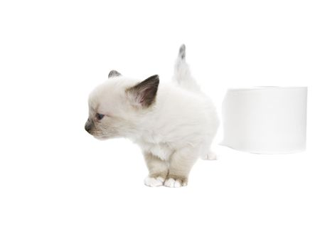 A purebred, Snowshoe Lynx-Point Siamese kitten turns her nose up at toilet paper that isnt soft enough.  Room for copy. photo