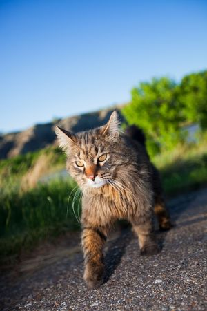 A prowling cat on the hunt.  Shallow depth of field. photo