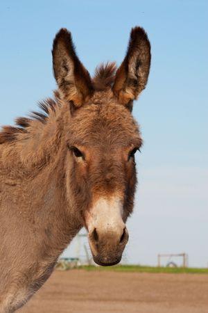 Portrait of Suzie, a donkey on a farm.