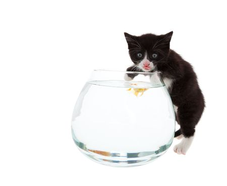 A curious kitten samples the water, while a young goldfish hovers barely below the surface, curious about the cat.