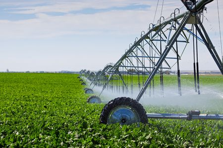 irrigation field: An irrigation pivot watering a field of turnips.