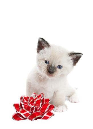 A little, Snowshoe Lynx-point Siamese kitten sitting next to a red and silver foil bow.  Shot against white background. photo