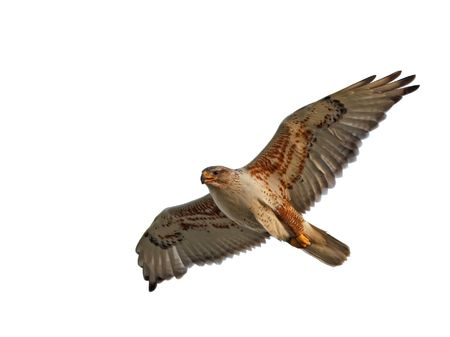 A Ferruginous Hawk flying with wings spread.   photo