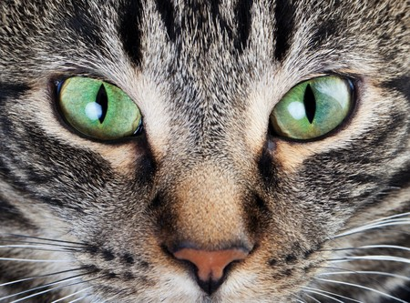 A macro shot of a young tabby cats face.  Focus on his gorgeous green eyes! photo