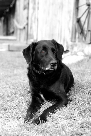 retreiver: An old, black labrador retreiver dog laying in a farm yard.  Black & white with tinted brown eyes. Stock Photo