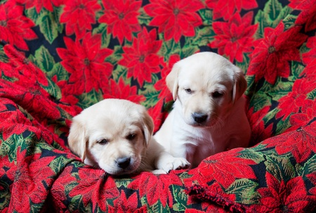 Two white Labrador Retriever puppies.  Four weeks old.  Red Poinsettia Christmas background. photo