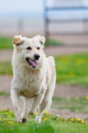 A happy, healthy, male, purebred Golden Retriever running on a farm.