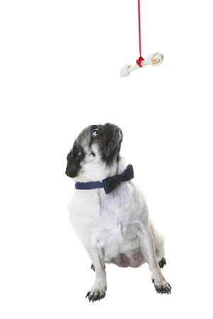 A purebred pug dressed in a navy blue bow tie, looking up at her Christmas bone hanging from a red ribbon.  Shot on white background. photo