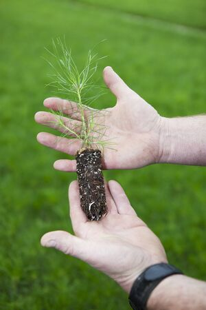 A Lodge Pole Pine seedling in a growers weathered and soiled hands, with thousands of seedlings in the background earmarked for reforestation projects.  The Reforestation industry is part of the global warming solution.
