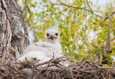 ferruginous: Young Ferruginous hawk chick in their nest. Stock Photo