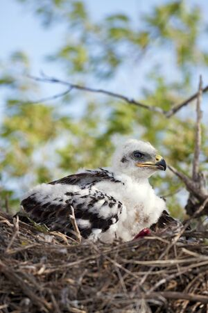 ferruginous: Young Ferruginous hawk chick in the nest, his flight feathers just beginning to grow.  Raw remains of a recent meal lay beside him. Stock Photo