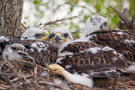 ferruginous: Three young, Ferruginous Hawk chicks overflowing out of their nest but not big enough to fly yet.  See these same chicks in different stages of growth in my portfolio.