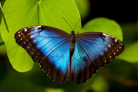 morpho: A beautiful blue morpho butterfly perched on a leaf.