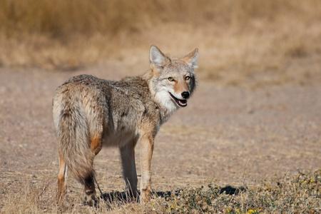 Ein wilder Kojote im Rückblick auf die Kamera. Shot in the Badlands in der Nähe von Alberta Medicine Hat, Alberta, Kanada.