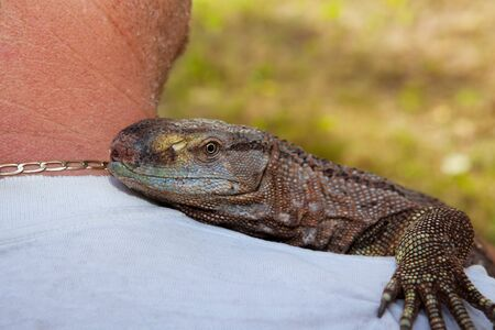 A pet Black Throat Monitor lizard riding on his owner photo