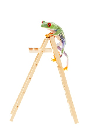 tropical frog: A red-eyed tree frog climbing to the top of the ladder.  Conceptual image to illustrate success, promotion, advancement.  Also pet shop or zoo under construction or expansion.  Shot on white background.