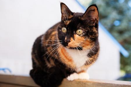 calico cat: A beautiful, Calico cat sitting on a fence.  Shallow depth of field. Stock Photo