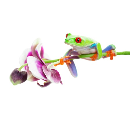 A red-eyed tree frog perched on an orchid.  Shot on white background.