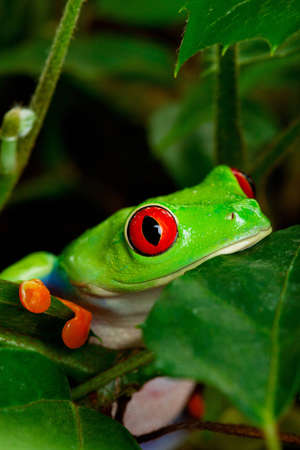 red eyed leaf frog: Closeup portrait of a red eyed tree frog sitting in the leaves