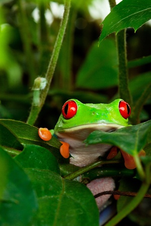 A red eyed tree frog peeking out of her hiding place in the leaves    photo