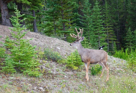 alberta: An eight-point buck, white-tail deer with velvet still on his rack   A bird sits on his back, the two residing peacefully together in world renown Banff National Park